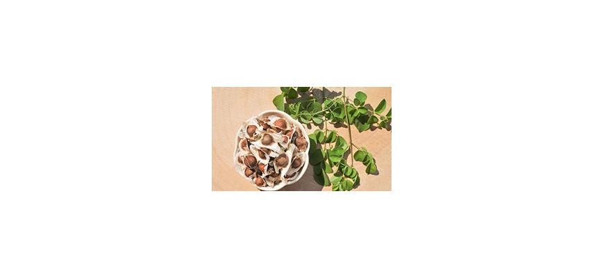Moringa - drzewo życia